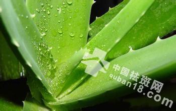 <a href=http://www.quban18.com/shiwuquban/luhuiquban/><a href=http://www.quban18.com/tag/lu/>芦荟</a></a>能<a href=http://www.quban18.com/tag/ban/>祛<a href=http://www.quban18.com/tag/ban_4098/>斑</a></a>吗